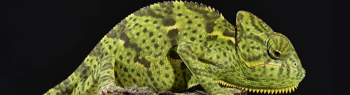 buy iguanas in deerfield beach, FL