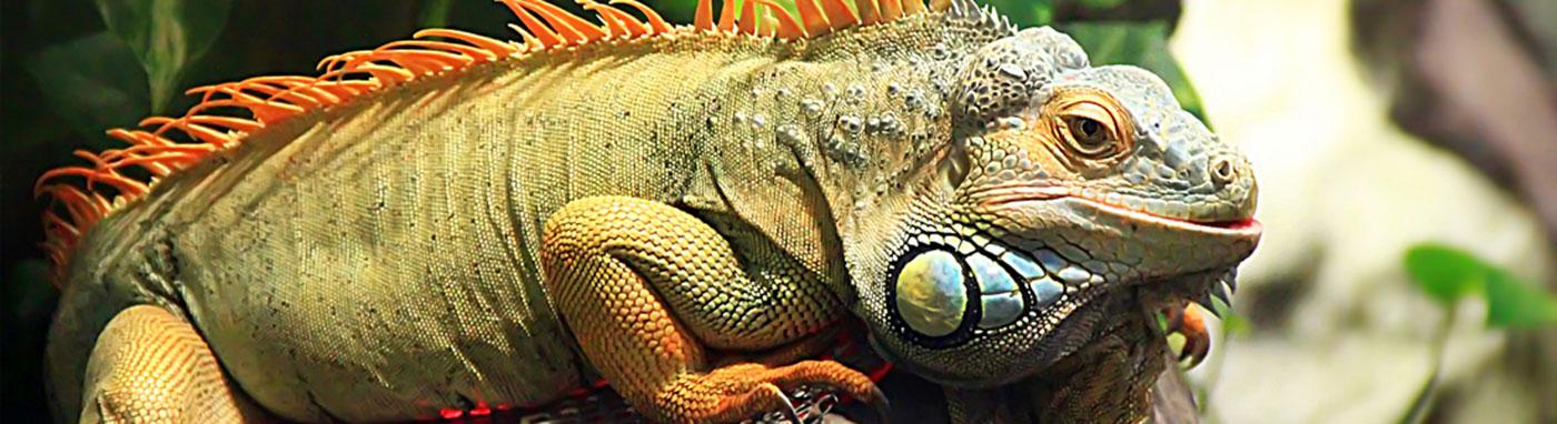 buy iguanas in Bradenton, FL