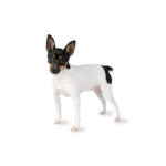Petland Bradenton Toy Fox Terrier