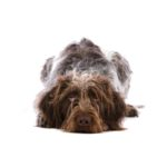 Petland Bradenton German Wirehaired Pointer