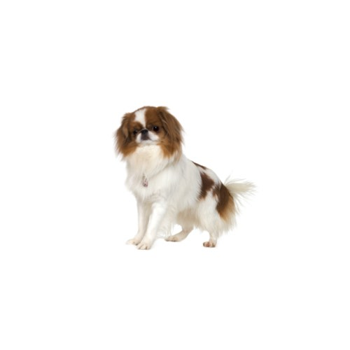 japanese chin puppies for sale in florida