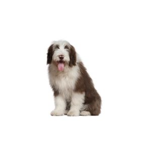 Old English Sheepdog Puppies - Petland Bradenton, FL