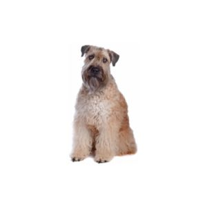 Soft Coated Wheaten Terrier Puppies - Manatee County, Florida