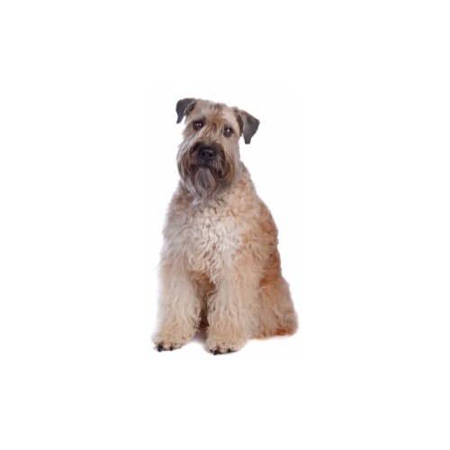 Soft Coated Wheaten Terrier Puppies Manatee County Florida