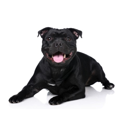 Staffordshire Bull Terrier Puppies - Manatee County, Florida