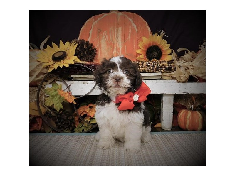 Havanese-Female-Chocolate-2523980-Petland Bradenton