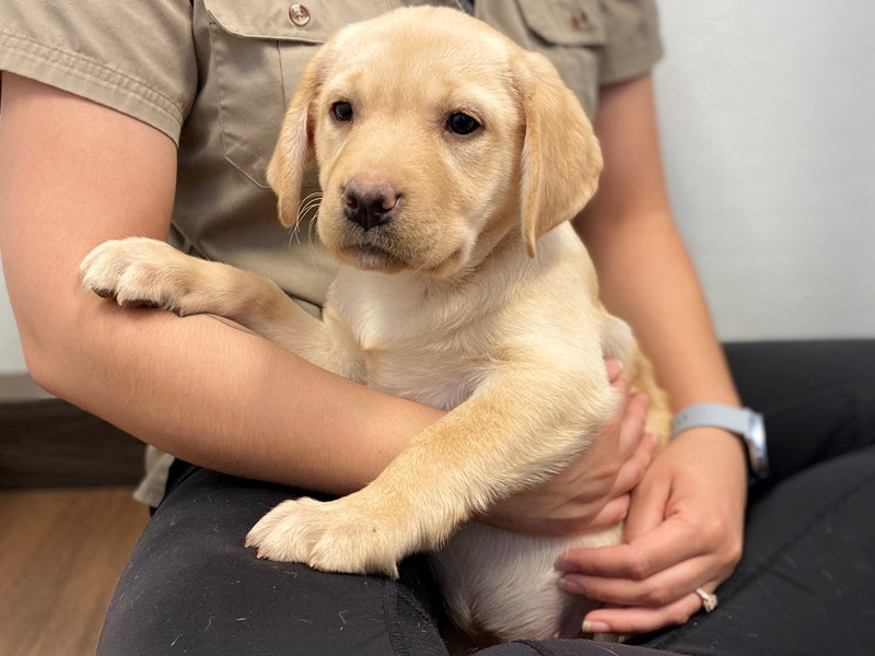 Labrador Retriever-Female-Yellow-2545726-Petland Bradenton
