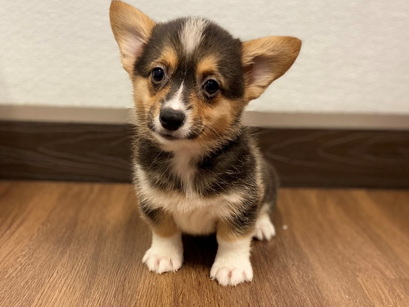 Pembroke Welsh Corgi-Female-Tri Color-2556272-Petland Bradenton