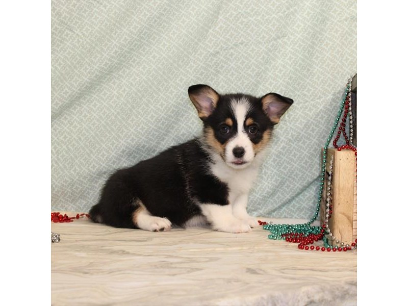 Pembroke Welsh Corgi-Male-Black / Tan-2573589-Petland Bradenton