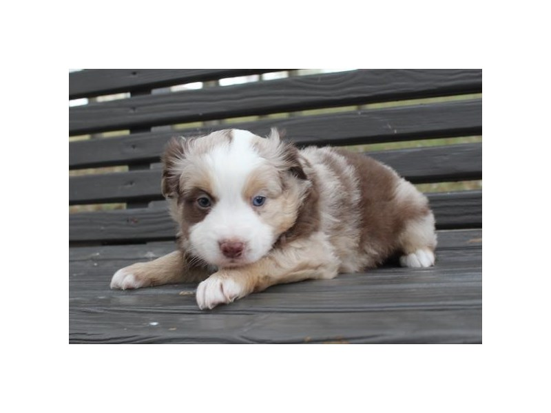 Miniature Australian Shepherd-Male-Red Merle-2575218-Petland Bradenton