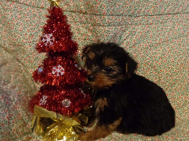 Yorkshire Terrier-Female-Black/Tan-2575185-Petland Bradenton