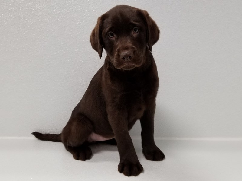 Labrador Retriever-Female-Chocolate-2583622-Petland Bradenton