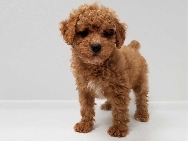 Toy Poodle-Female-Red-2583606-Petland Bradenton