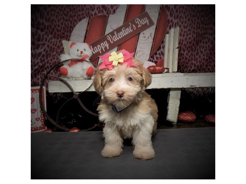 Havanese-Female-Gold-2588484-Petland Bradenton