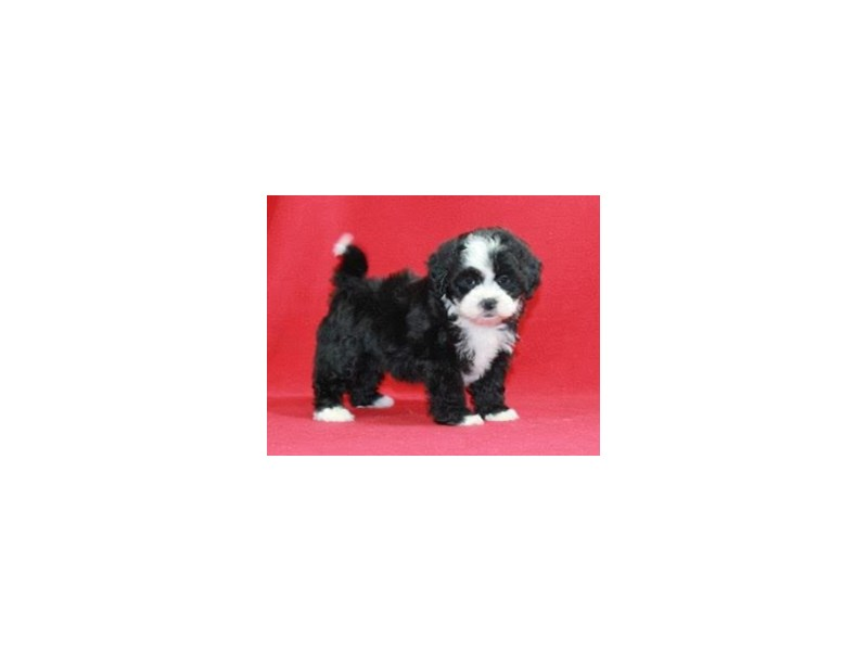 Lhasa Poo-Female-Black/White-2606264-Petland Bradenton