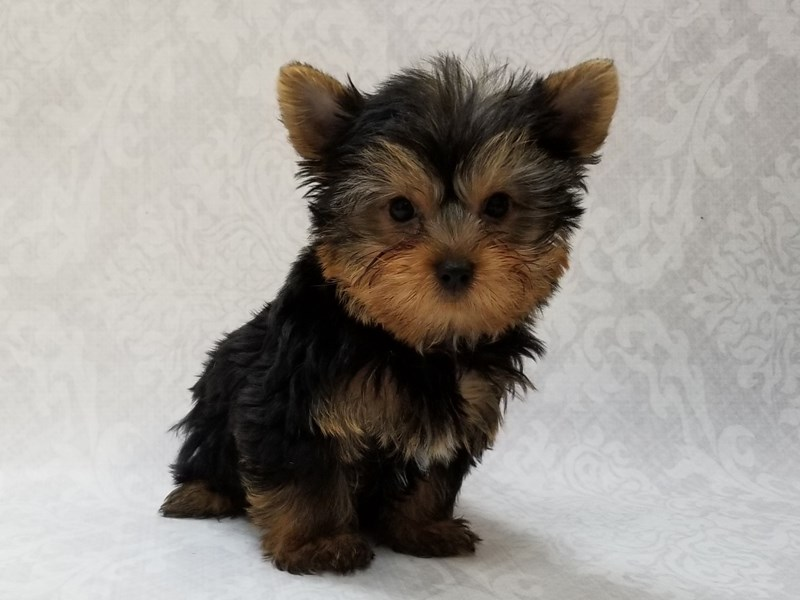 Yorkshire Terrier-Male-Black/Tan-2606311-Petland Bradenton