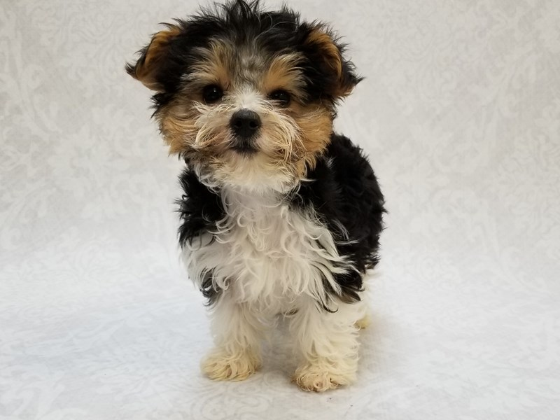 Yorkshire Terrier-Male-Parti-2613342-Petland Bradenton