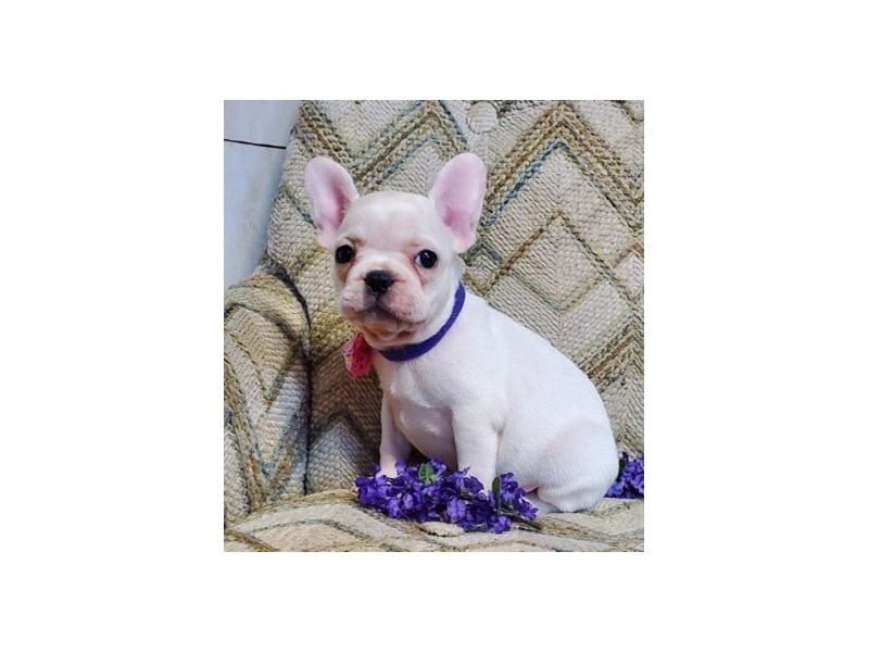 French Bulldog-Female-Cream-2670447-Petland Bradenton