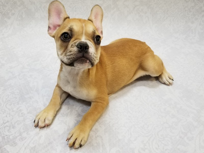 French Bulldog-Female-Fawn/White-2673053-Petland Bradenton