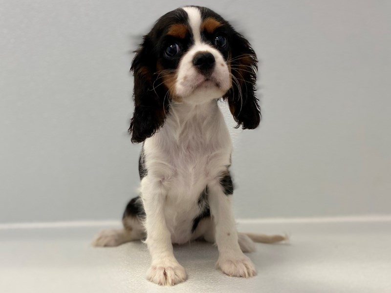 Cavalier King Charles Spaniel-Female-Black/White/Tan-2676764-Petland Bradenton
