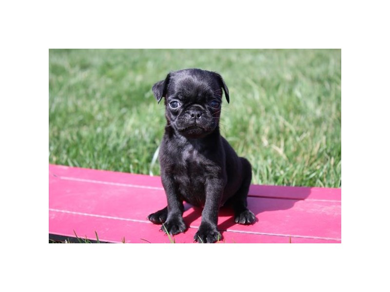 Pug-Female-Black-2686497-Petland Bradenton