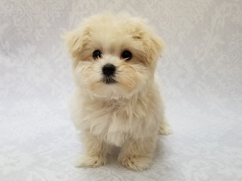 Maltipoo-Female-White-2716333-Petland Bradenton