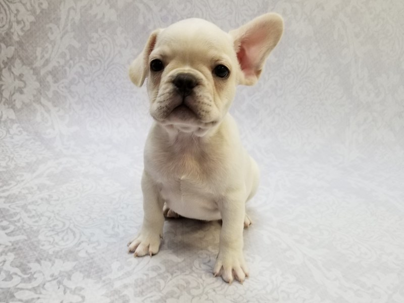 French Bulldog-Male-Light Cream-2766850-Petland Bradenton