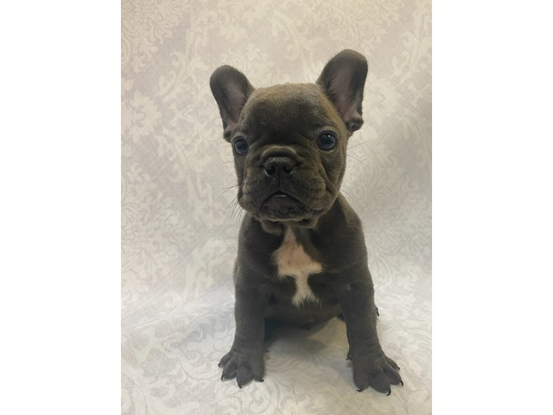 French Bulldog-Male-Blue-2782594-Petland Bradenton