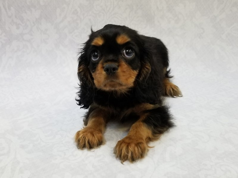 Cavalier King Charles Spaniel-Female-Black/Tan-2796315-Petland Bradenton