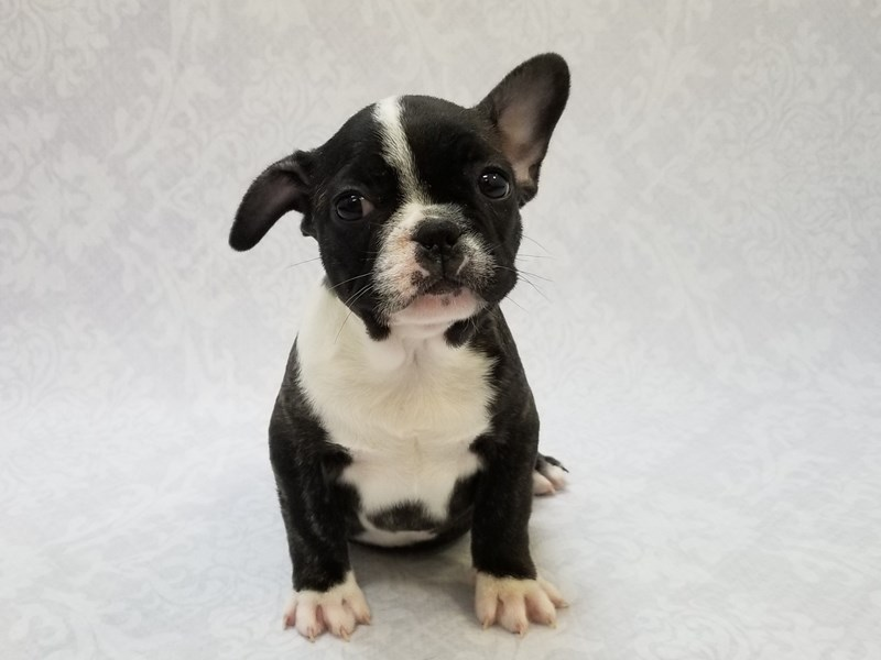 French Bulldog-Female-Reverse Brindle-2811255-Petland Bradenton