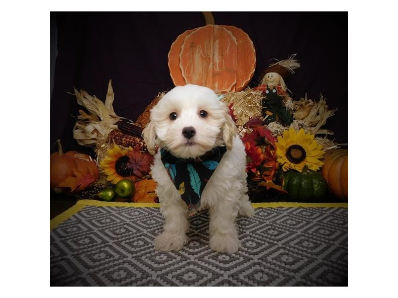 Maltipoo-Male-Cream/White-2845765-Petland Bradenton