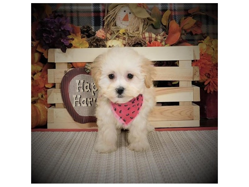 Maltipoo-Male-Cream-2855072-Petland Bradenton