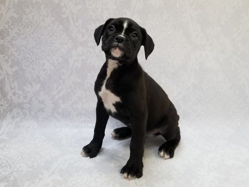 Boxer-Male-Black/White-2855056-Petland Bradenton