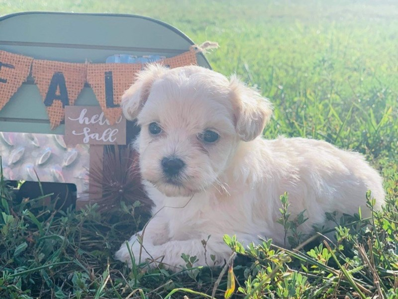 Maltipoo-Female-Cream-2864067-Petland Bradenton