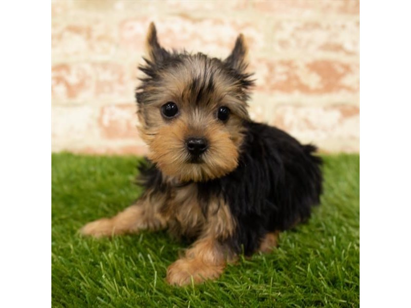 Yorkshire Terrier-Female-Black / Tan-2876962-Petland Bradenton