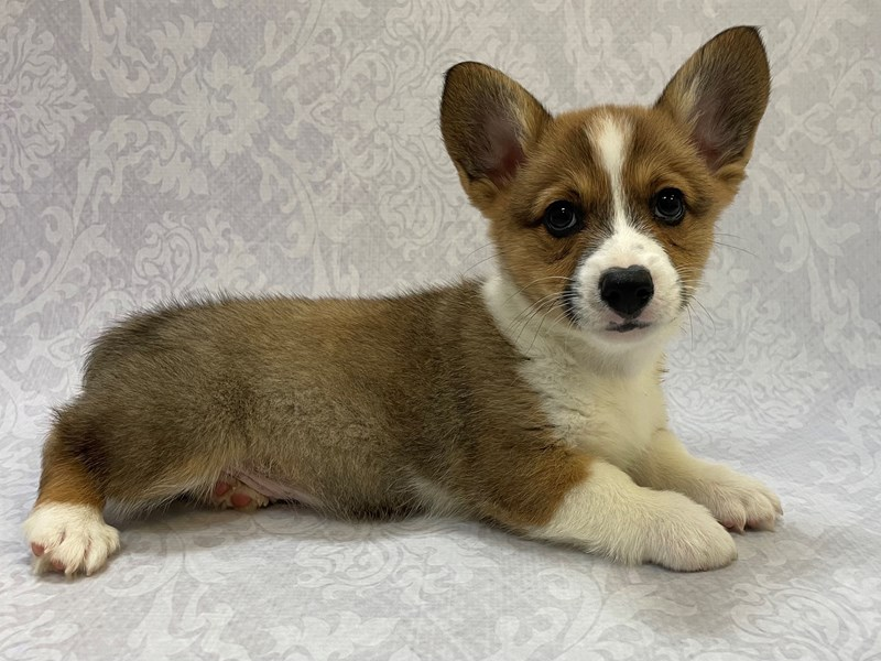 Pembroke Welsh Corgi-Male-Red / White-2911944-Petland Bradenton