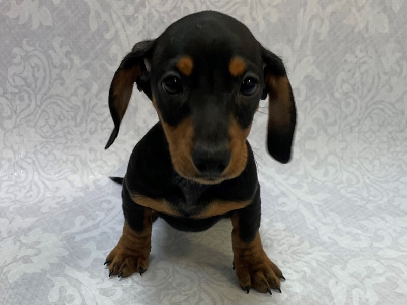 Dachshund-Male-Black/Tan-2909344-Petland Bradenton