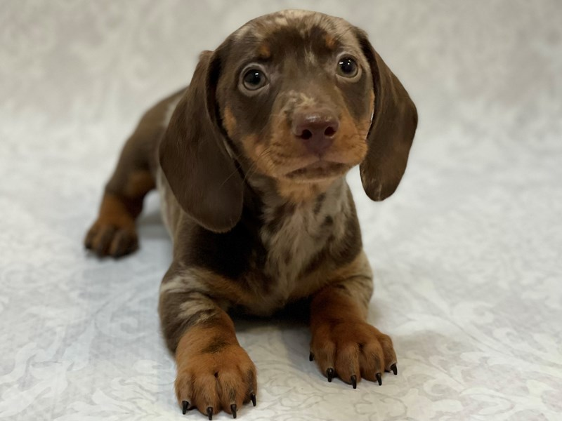 Dachshund-Male-Chocolate Dapple-2958486-Petland Bradenton
