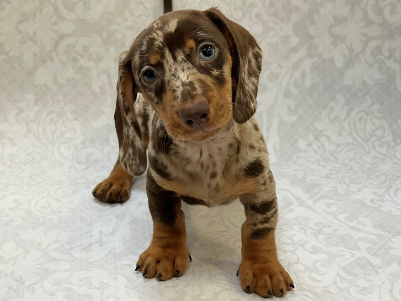 Dachshund-Male-Chocolate Dapple-2958490-Petland Bradenton