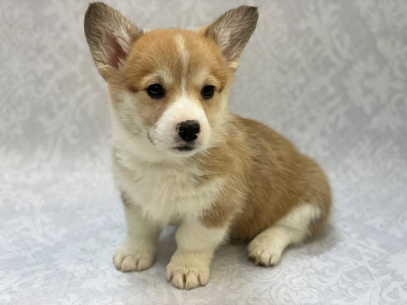 Pembroke Welsh Corgi-Female-Red White / Sable-2988531-Petland Bradenton